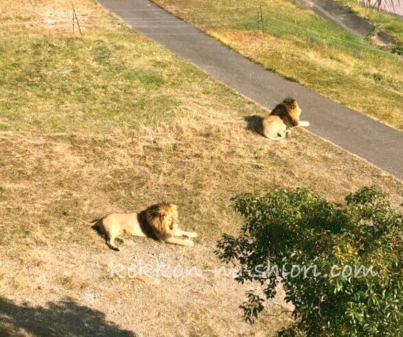 アドベンチャーワールド ライオン